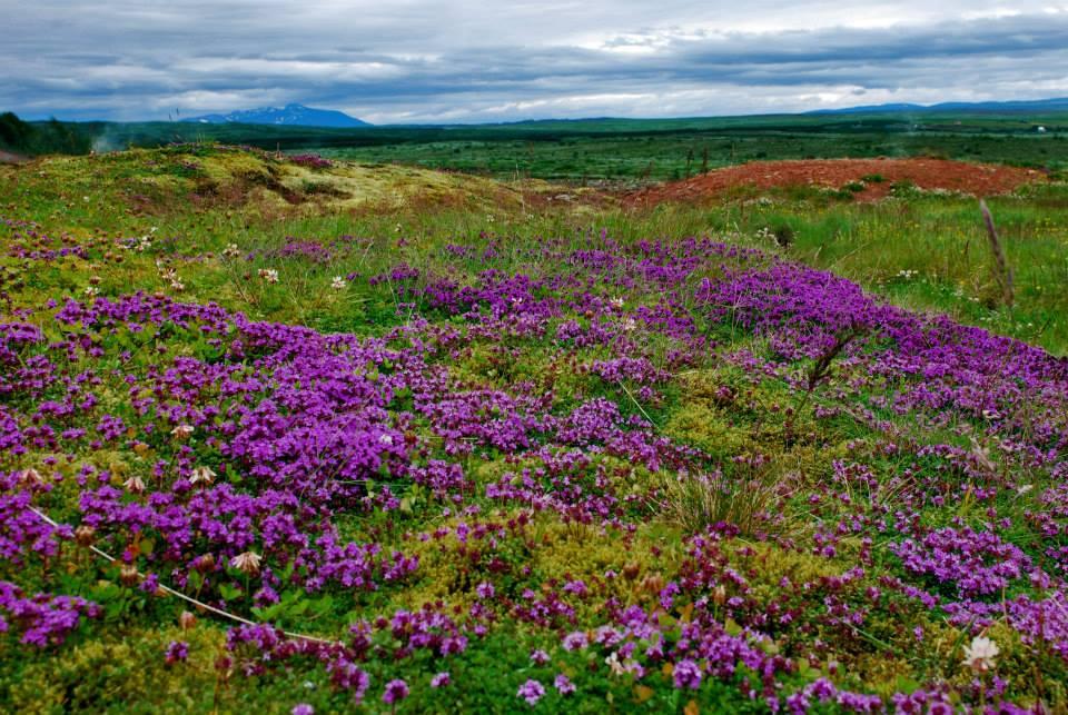 Prato fiorito in Islanda