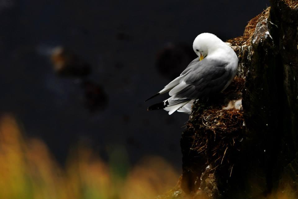Un gabbiano appollaiato sul nido a ridosso di una scogliera nera