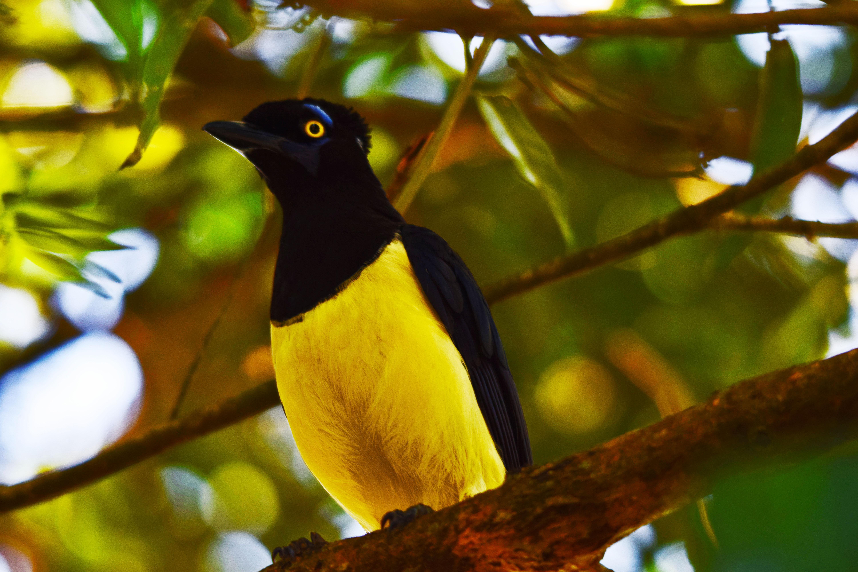 Uccello tropicale nero con petto giallo, appollaiato sul ramo di un albero frondoso nella foresta pluviale